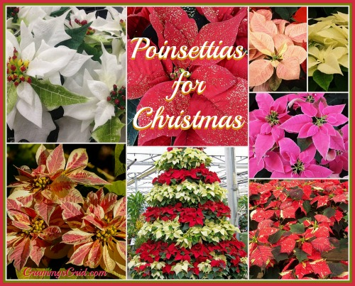 Poinsettia - The Ultimate Christmas Plant!